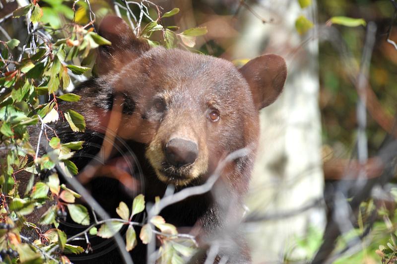 Black Bear - Grand Teton National Park